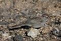 Rufous-winged sparrow.jpg