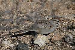 Rufous-winged sparrow.jpg