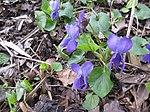 Ruhland, Grenzstr. 3, Duftveilchen im Garten, blau blühend, Frühling, 03.jpg