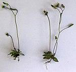 Ruhland, Grenzstr. 3, Frühlings-Hungerblümchen auf der Garagenausfahrt, Einzelpflanzen, Frühling, 04.jpg