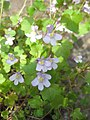 Ruhland, Grenzstr. 3, Mauer-Zimbelkraut im Garten, blühend, Frühling, 02.jpg