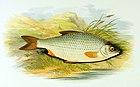 A Balaton egyik jellegzetes hala, a bodorka