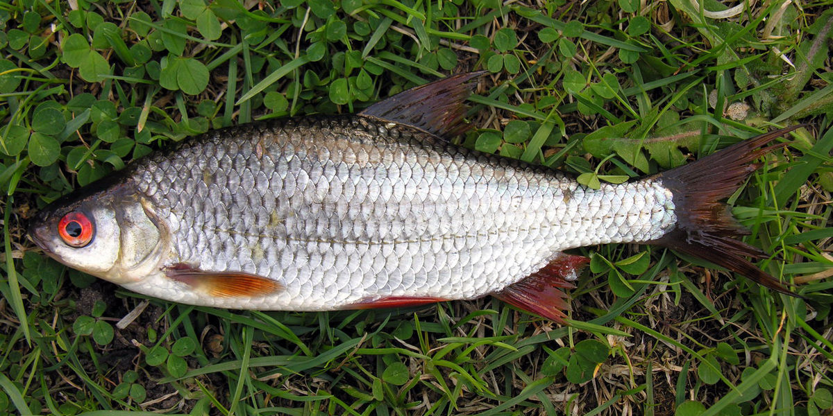 Common roach wikipedia for Can you eat carp fish