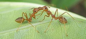 Trophallaxis - Trophallaxis in Asian-Australian weaver ant O. smaragdina, Thailand