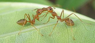 Weaver ant - Liquid food exchange (trophallaxis) in O. smaragdina