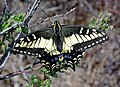 SWALLOWTAIL, ANISE (Papilio zelicaon) (8-25-08) black hill, morro bay, slo co, ca (1) (9423487050).jpg
