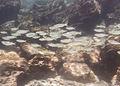 Sabalote (Chanos chanos), isla de San Cristóbal, islas Galápagos, Ecuador, 2015-07-25, DD 24.JPG