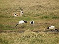 Sacred ibis in Tanzania 4178 Nevit.jpg