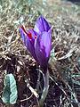 Saffron4.jpg