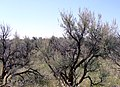 Sagebrush - panoramio.jpg
