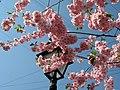 Saint Petersburg. Chinese Garden. Sakura tree2021 07.jpg