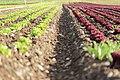 Salad field - panoramio.jpg