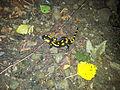 Salamandra škvrnitá.jpg