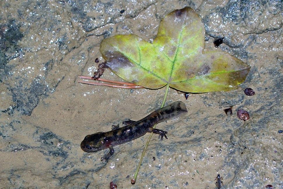 Salamandra salamandra 02 by-dpc