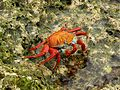 Sally-lightfoot crab - Flickr - pellaea (2).jpg