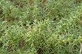 Salsola kali subsp. kali kz01.jpg