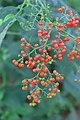 Sambucus chinensis in Wuyishan Chengcun 2012.08.24 08-31-58.jpg