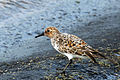 Sanderling (Calidris alba) breeding plumage.jpg
