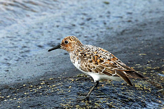 Sanderling - Breeding plumage, Farmoor Reservoir, Oxfordshire