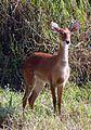 Sangai Brow-antlered Deer Rucervus eldii eldii Manipur by Dr. Raju Kasambe (3).jpg
