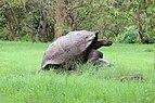 Santa Cruz giant tortoises 01.jpg
