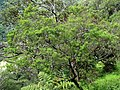 Santalum freycinetianum (5210116890).jpg