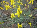 Sarı çiçek hatay.JPG