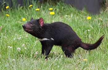 English: Tasmanian Devil (Sarcophilus harrisii...