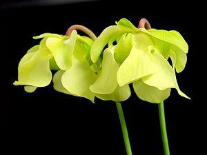 Sarracenia - Sarracenia alata flowers