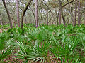 Saw palmetto (Serenoa repens) in Manatee Springs State Park.jpg