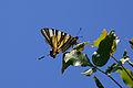 Scarce Swallowtail butterfly - 2013'05'20-13h54m24s.jpg