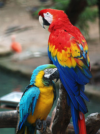 Two macaws - a Scarlet Macaw (Ara macao) on ri...