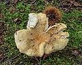 Scherpe kamrussula (Russula amoenolens) (d.j.b.) 03.jpg