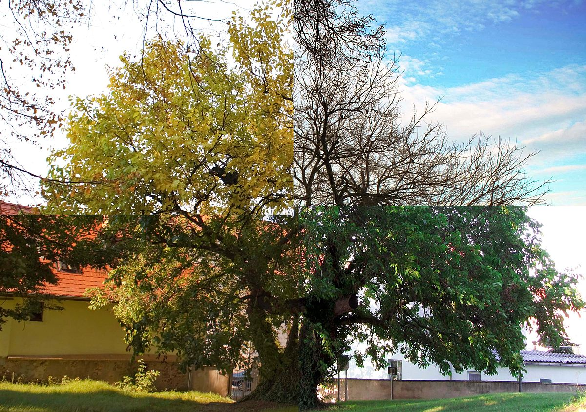 Schildau Maulbeerbaum 4JZ.jpg