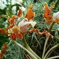 Schomburgkia undulata - Flickr - treegrow.jpg