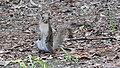 Sciurus carolinensis (veverka popelavá).jpg