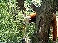 Scott Roberts - A red panda (by).jpg