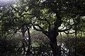 Seasonal Swamp Forest, National Botanical Garden of Bangladesh ,Pic 2.jpg