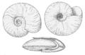 Segmentina nitida.png