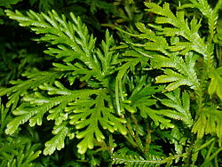 Selaginella canaliculata.jpeg