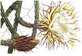 Selenicereus macdonaldiae (Cereus grusonianus) 3.166-167.jpg