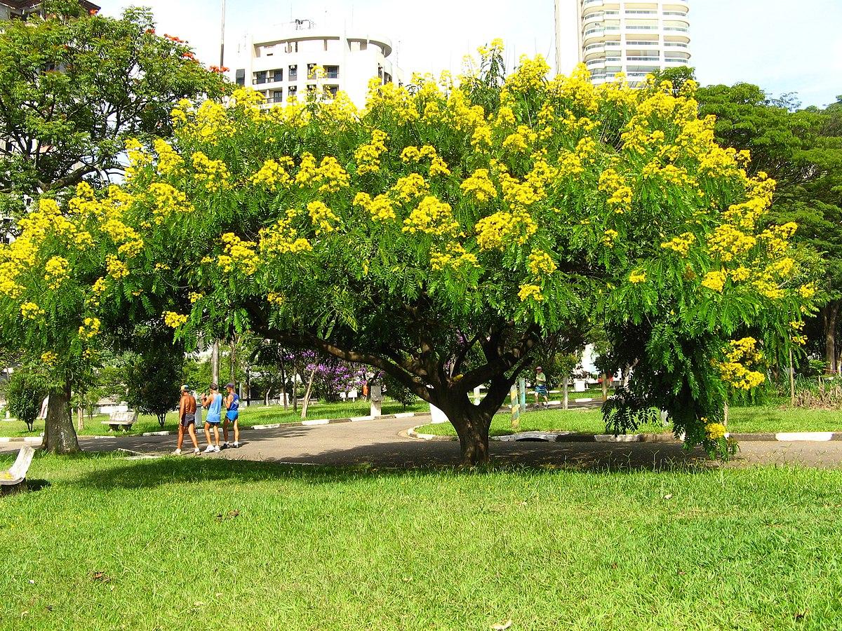 Senna spectabilis wikip dia for Arboles para sombra de poca raiz