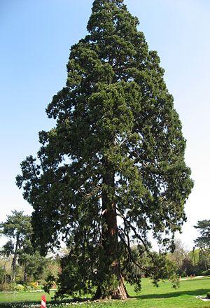 Jean-Pierre Barillet-Deschamps - Image: Sequoiadendron giganteum 02 by Liné1