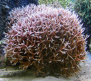 Seriatopora hystrix in einem Aquarium