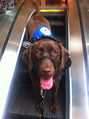 Service dog on escalator.jpg