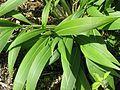 Setaria palmifolia - Flickr - peganum (1).jpg