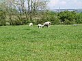 Sheep - geograph.org.uk - 454930.jpg