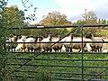 Sheep ahead near Lower Wain - geograph.org.uk - 1028823.jpg