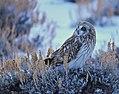Short-Eared Owl on Seedskadee NWR (23524096075).jpg