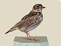 Short-tailed Lark specimen RWD.jpg